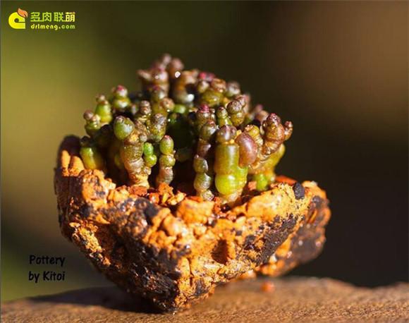 艺术般的块根多肉盆景 mammillaria