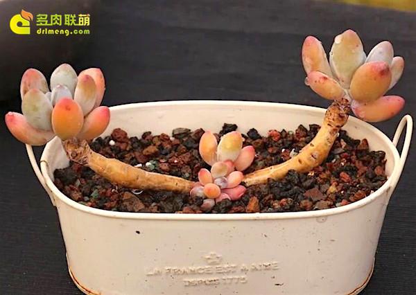 布拉榭蒂多肉植物-3