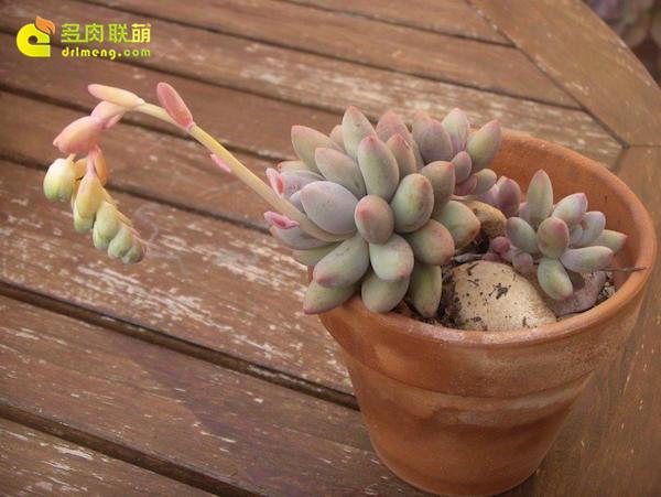 布拉榭蒂多肉植物-4