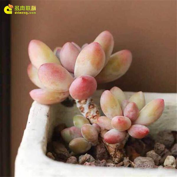 布拉榭蒂多肉植物