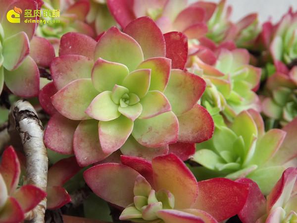 多肉植物薄化妆-1