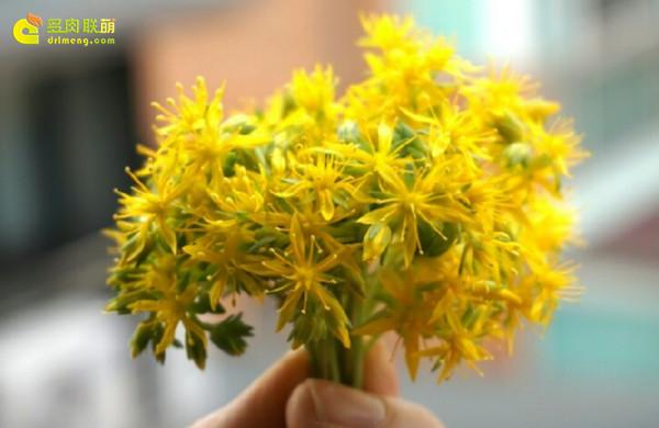 多肉植物薄化妆开花-11