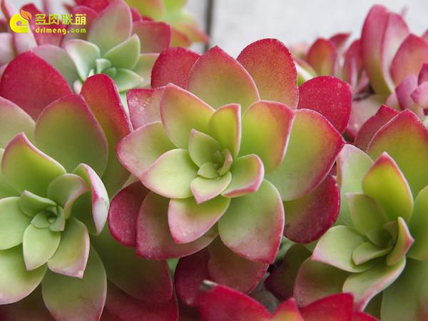 多肉植物薄化妆-2