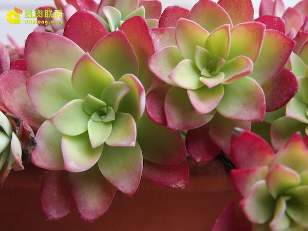 多肉植物薄化妆-3
