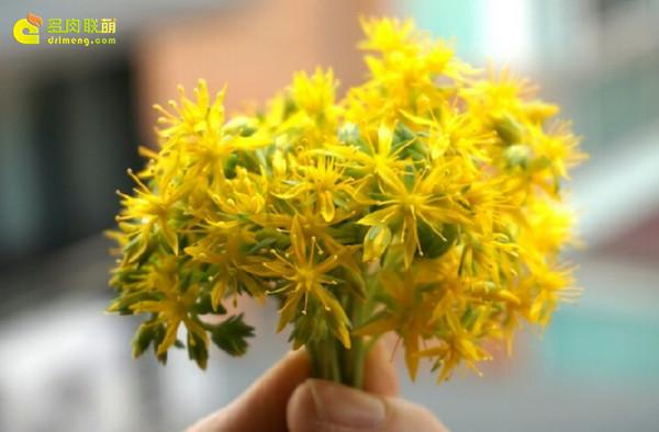 多肉植物薄化妆开花-4