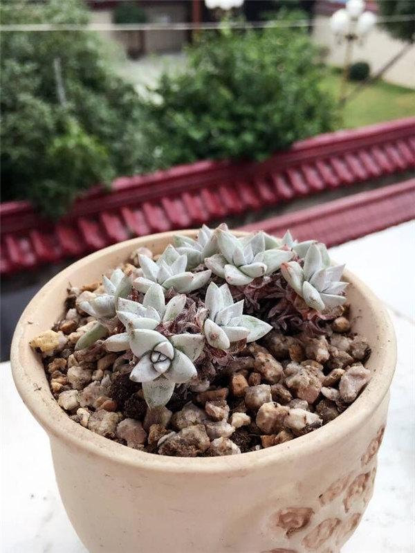 9月的白菊