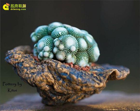 艺术般的块根多肉盆景 blossfeldia-liliputana