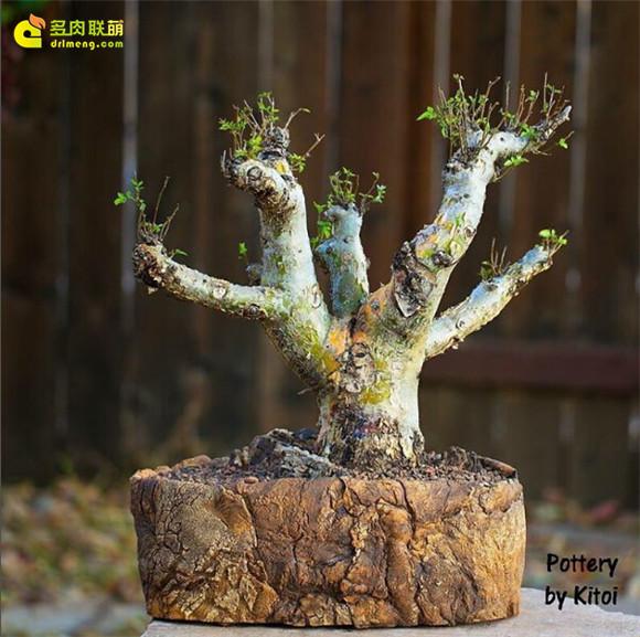 艺术般的块根多肉盆景 bursera-fagaroides