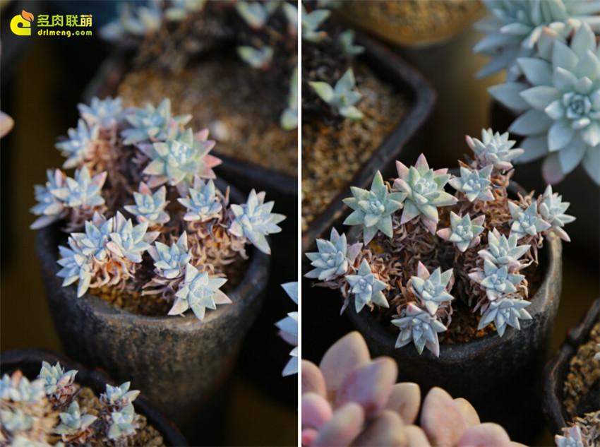 大雪|冬天里的美丽多肉植物-25