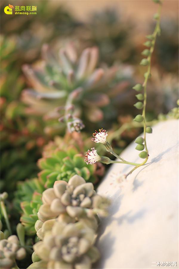 珍珠吊兰的花