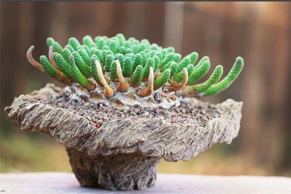 艺术般的块根多肉盆景 euphorbia-esculenta