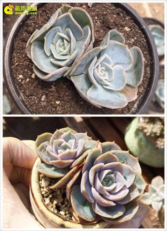 多肉植物蓝色惊喜的变化
