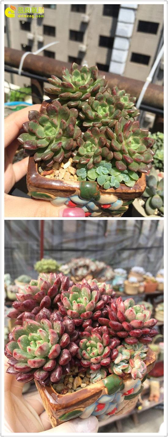 多肉植物红宝石的变化