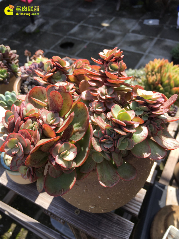 广州养好的多肉植物-6
