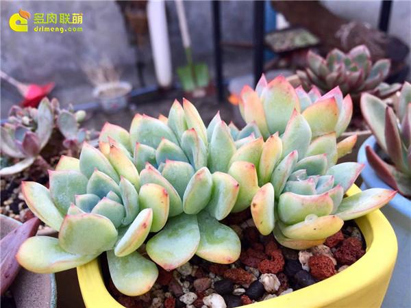 广州养好的多肉植物-9