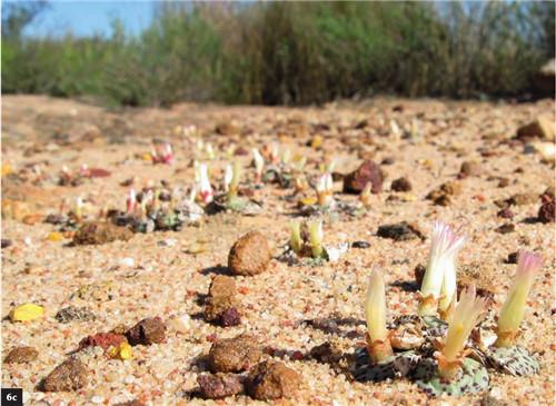 (6c)C. obcordellum ssp. obcordellum'ursprungianum' 【白皮黑点安贞】在Nieuwoudtville南部一个浅砂石砾穴中。
