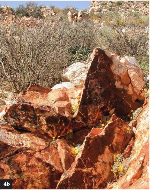 (4b)C. tantillum ssp. amicorum在唯一一个知道的地点,那里是在Springbok北部一个小石英山丘上。