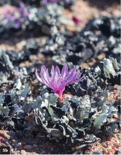 (5b)C.youngii【杨基】在炎热夏天休眠在青苔深处,而在秋冬天在其保护下生长。