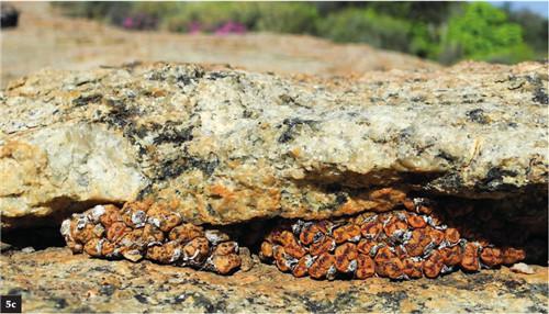 (5c)C.pellucidum ssp. pellucidum【勋章】在一个片状花岗岩穹丘裂缝下。