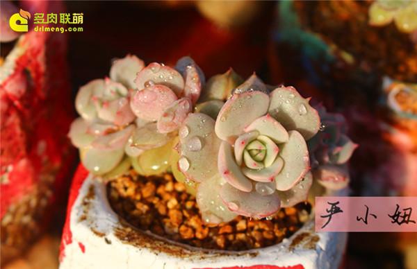 包邮区(江苏张家港)的美丽多肉-13