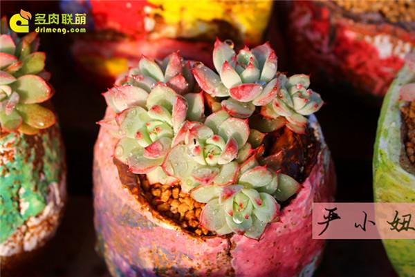 包邮区(江苏张家港)的美丽多肉-15
