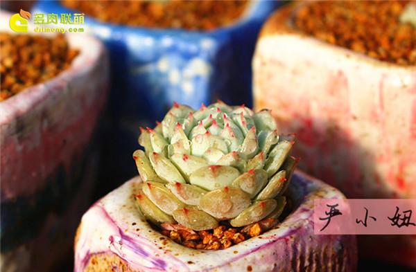 包邮区(江苏张家港)的美丽多肉-18