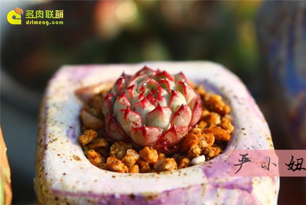 包邮区(江苏张家港)的美丽多肉-22