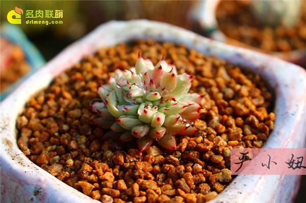 包邮区(江苏张家港)的美丽多肉-24