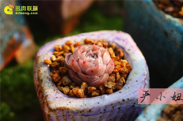 包邮区(江苏张家港)的美丽多肉-28