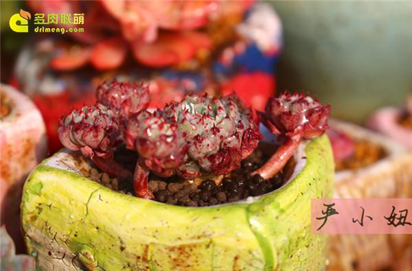 包邮区(江苏张家港)的美丽多肉-30