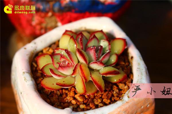 包邮区(江苏张家港)的美丽多肉-34
