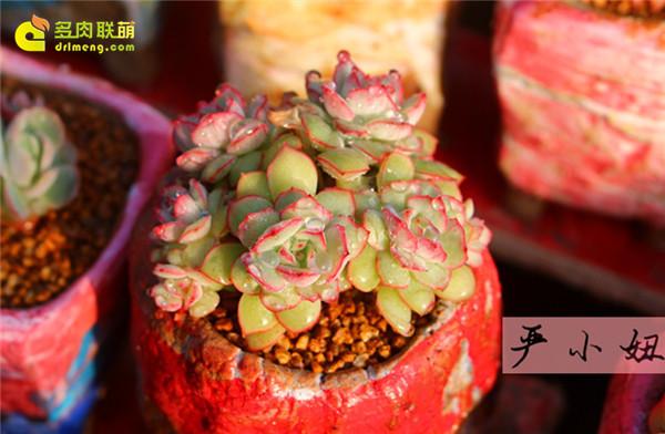 包邮区(江苏张家港)的美丽多肉-8