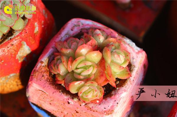 包邮区(江苏张家港)的美丽多肉-9