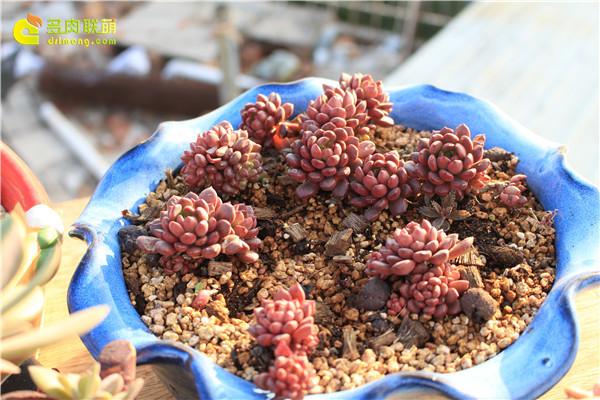 多肉植物红宝石