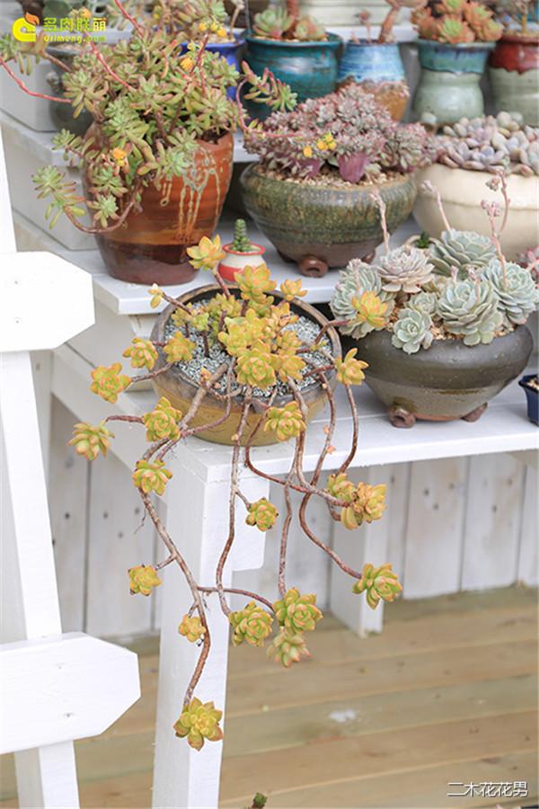 玻璃花房里的黄丽