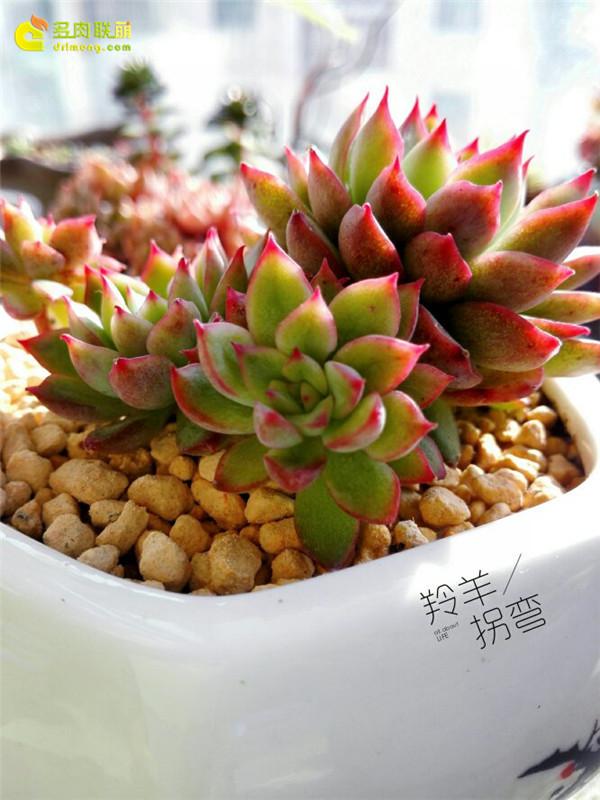 秋天冬天美起来的多肉植物