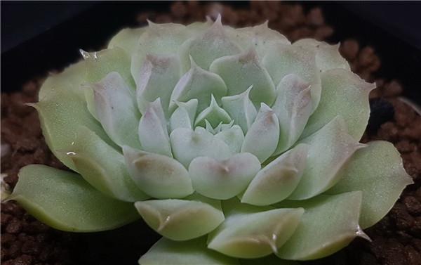 Echeveria elegans La Paz 拉帕兹月影
