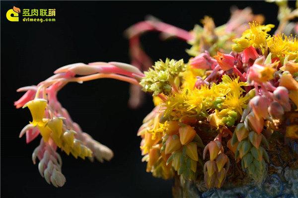 冬天多肉植物开的花