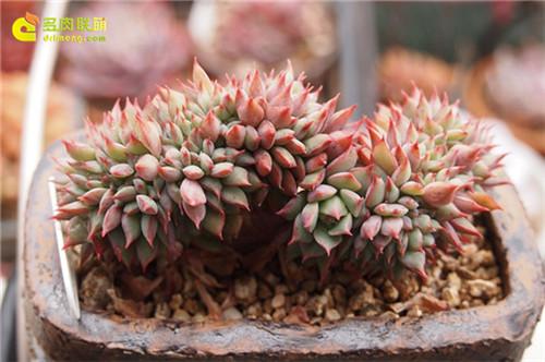 鸡冠花,拉姆雷特(Echeveria Lamillette)缀化