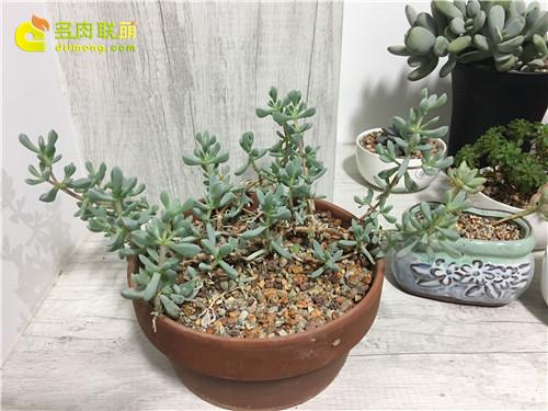 室内养护的白凤菊