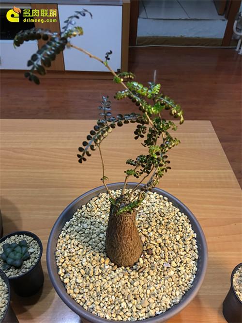 室内养护的列加氏漆树