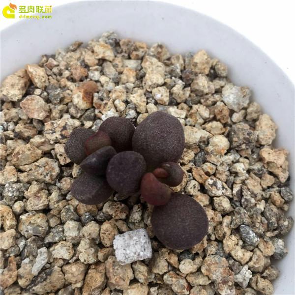 灵石—水泡品种