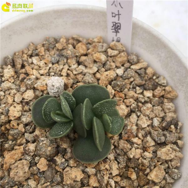 小叶翠绿—水泡品种