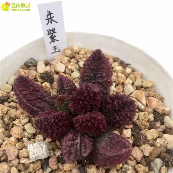 朱紫玉—水泡品种