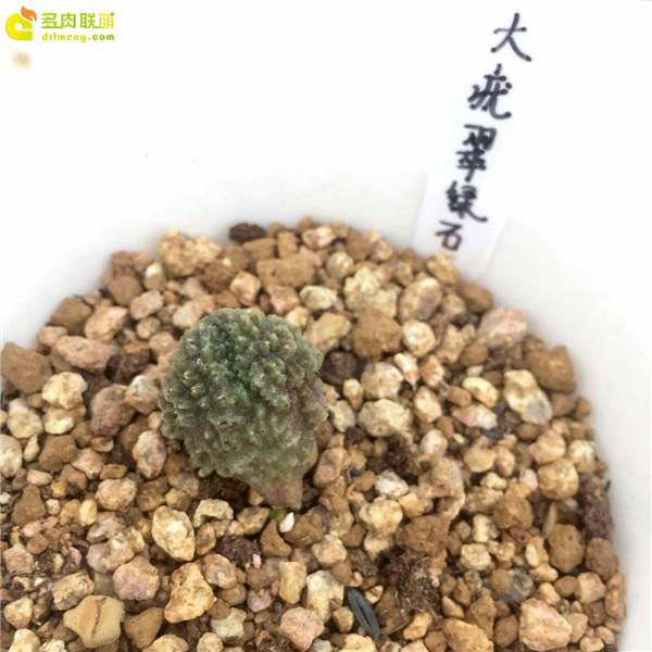 大疣翠绿石—水泡品种