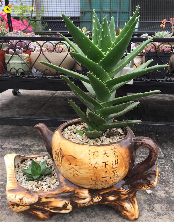茶壶之芦荟和宝草