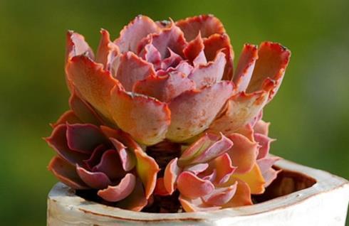 粉色系多肉植物晚霞之舞