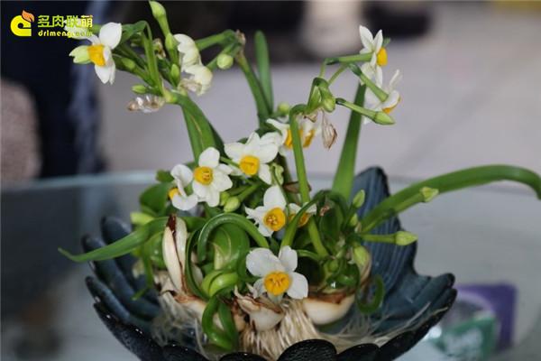 水培水仙花