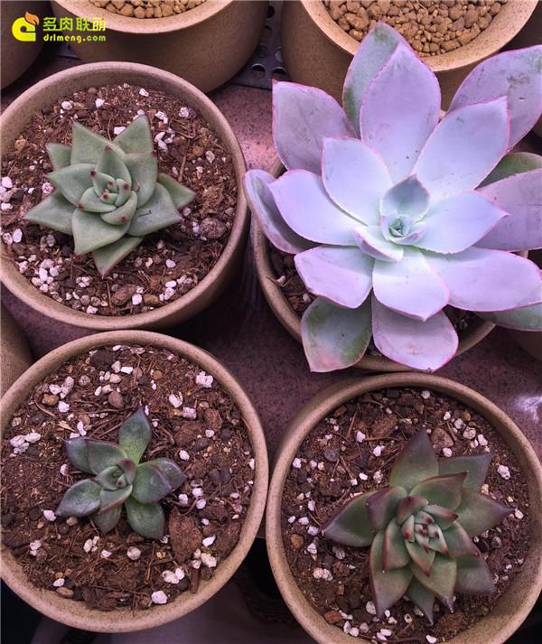 乌木两棵(左上角,右下角),罗密欧(左下角),广寒宫