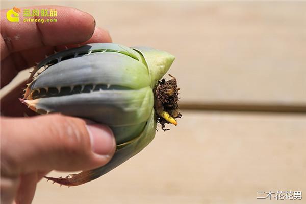 玉露怎么养,修根很重要。